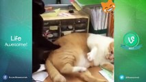 Funny Cats Compilation 2016  Best Funny Cat Videos Ever - Funny Vines Compilation