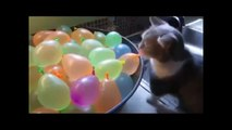 New Funny cats and dogs videos try not to laugh - Funny cats on fan - Funny cats