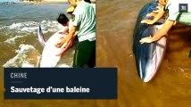 Sauvetage d'une baleine échouée sur une plage chinoise