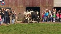 La joie d'un troupeau de vaches libérées après 6 mois enfermés.