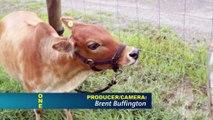 Tests animaux : les mini-vaches dans une université en Floride