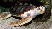 Tortugas marinas de México