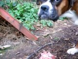 Boxer dog eating a raw lamb shoulder [fillet] and a raw egg