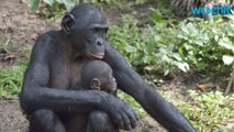 Ancient Chimps Hooked Up With Bonobos
