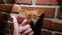 Ce papillon géant à l'air bien posé sur son doigt