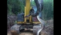 Des ouvriers découvrent un anaconda de 10 mètres de long !