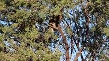 Affrontement entre 2 félins au sommet d'un arbre !