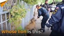 En Russie, un lionceau errant se balade dans les rues