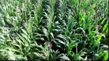 OGM Mensonges et Vérités