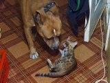 Un chien et un chaton bengal meilleurs potes c'est trop mignon