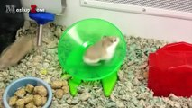 Hamsters - A Cute Hamster And Funny Hamster Videos Compilation -- NEW HD