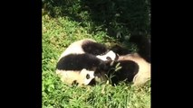 Best 15 Cute Panda Videos Doing Funny Things Compilation -
