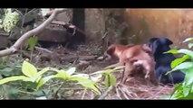 Giant Anaconda vs Dog Python vs Dog Pitbull vs Giant Anaconda, Giant Anaconda Snake – Ra