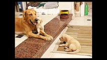 Golden Retriever Puppies, Dogs, Pets and Animals