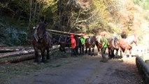 Débardage avec chevaux du site Natura 2000 des Gorges de la Canche