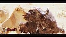 León vs Buffalo, Cocodrilo Ataques de Cebra y Gnu | Más Increíble de Animales Salvajes Ataques #24 PARTE 1