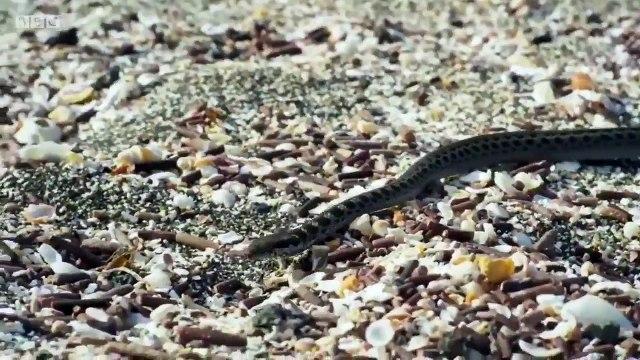 La emocionante persecución a lo 007 de unas serpientes a una iguana que ha dejado en vilo a internet