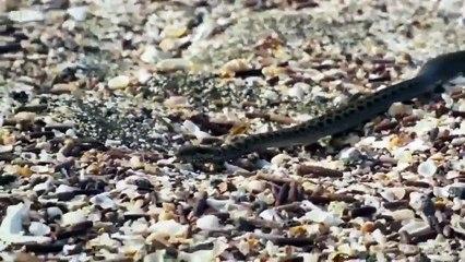 Yılanların Mahallesinden Sağ Çıkmayı Başaran Komodo Ejderi