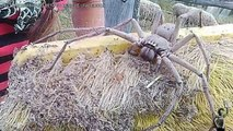 Cette femme va découvrir une araignée gigantesque et terrifiante