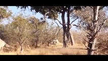 Cubierta de plantilla de Búfalo Mata León, Leopardo vs Perros Salvajes, Serpiente, Lobo Cuando una Presa se defiende