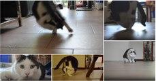 Gato aprende a fazer cambalhotas e agora não pára de fazer este movimento acrobático