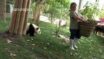 Une gardienne de zoo a du mal à ramasser les feuilles avec ces pandas