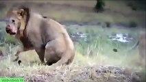 León vs Buffalo y Cocodrilo vs Tigre | más LOCA de los Animales y Ataques Más terribles Ataques de Animales