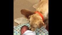 Bébé qui pleure réconcilié par un chien labrador.. Trop Mignon