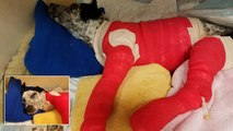 Puppy Wags His Tail In Full Body Cast As He Heals After Being Dragged By Truck