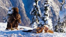 Golden eagle fight - Planet Earth II  Mountains Preview - BBC One