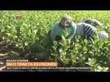 Batı Trakya Ekonomisinde Tütünün Önemi - Balkan Gündemi - TRT Avaz