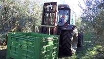Alpes-de-Haute-Provence : La récolte des olives à huile a débuté