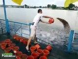Regardez cette homme nourrir des milliers de poissons affamé... Incroyable