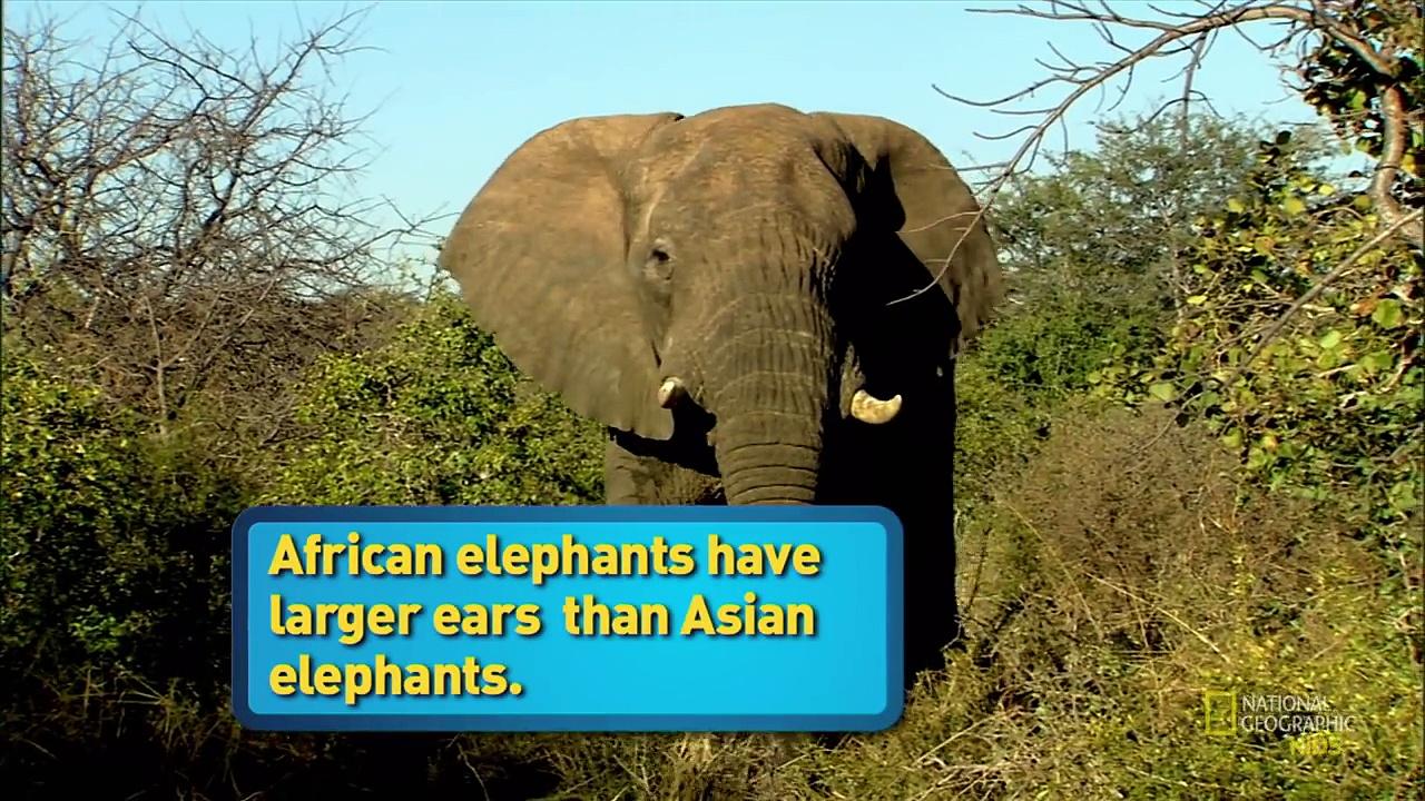 African Elephant  | AMAZING ANIMALS