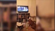 Ce chien saute devant un chien qui saute à la télé LOL