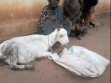 Goat Gives Birth To Human | Looks Like BABY in India Mysore | Exclusive got