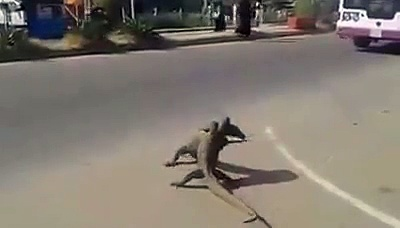 animals fighting on the road video in pakistan_2016/2017