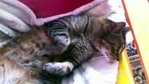 Funny Cats Videos Try not to Laugh : dreaming cats, dreaming milk - Cute dreaming kitty