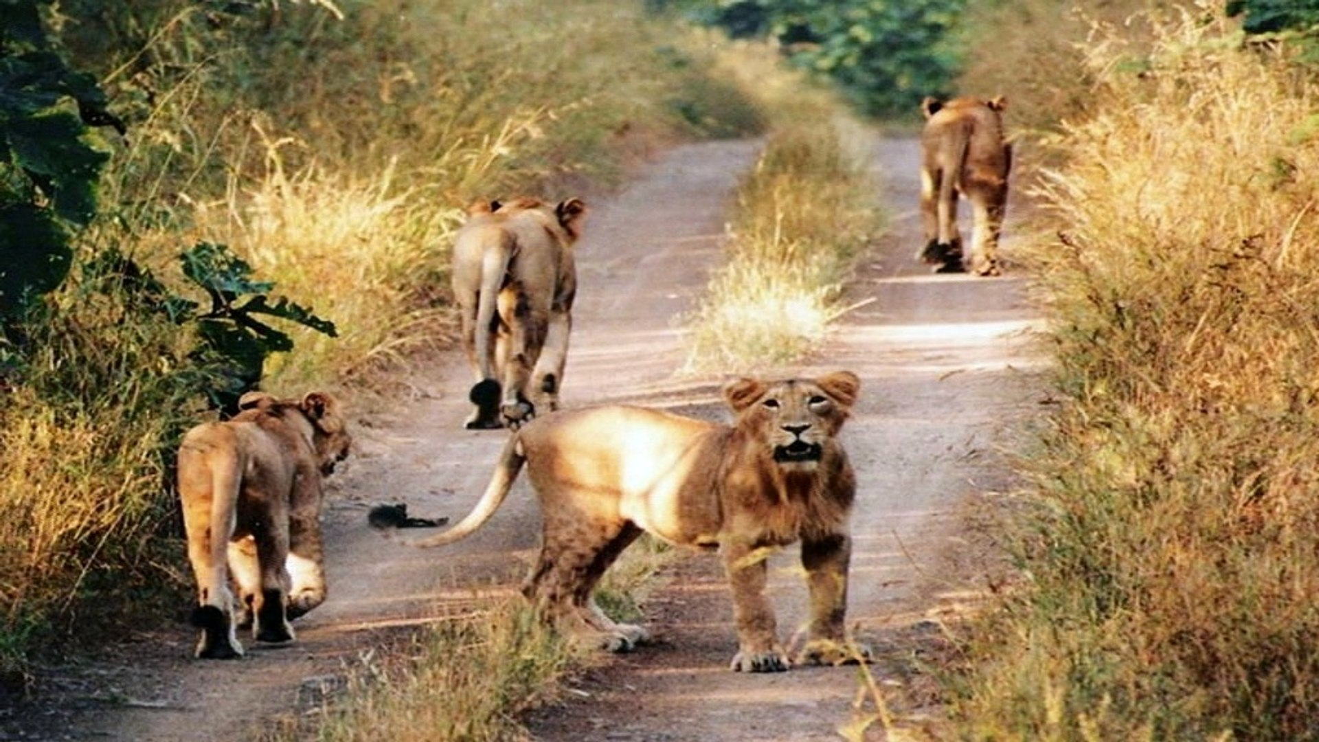 Gir Forest National Park -  Gujarat, India.