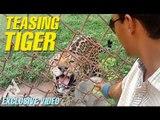 Tiger Teasing Exclusive Video | Stop Teasing Animals | Uncut Footage