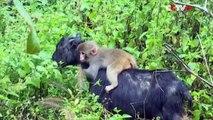 Un adorable petit singe vit sur le dos d'une chèvre