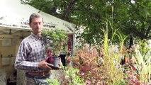 Fuchsia rustique, conseils de culture