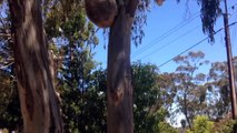 Ce koala se fait virer de son arbre et fini en pleurs! Ahaha