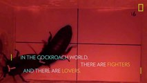Cockroach vs. Cockroach: Watch How These Insects Fight For Love | National Geographic