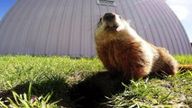 Gopher pauses for big yawn in front of hidden camera