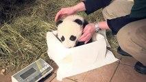 Les pandas jumeaux du zoo de Vienne ont reçu leurs noms