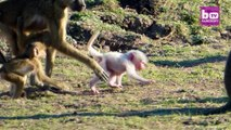 White Baby Baboon Stands Out From The Crowd: CUTE AS FLUFF
