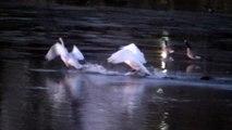 Beautiful Swans Fight !
