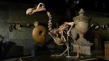 Dodo skeleton auction shines light on lessons from extinct bird