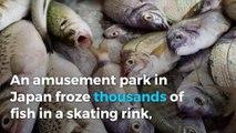Japanese ice skating rink freezes 5,000 fish
